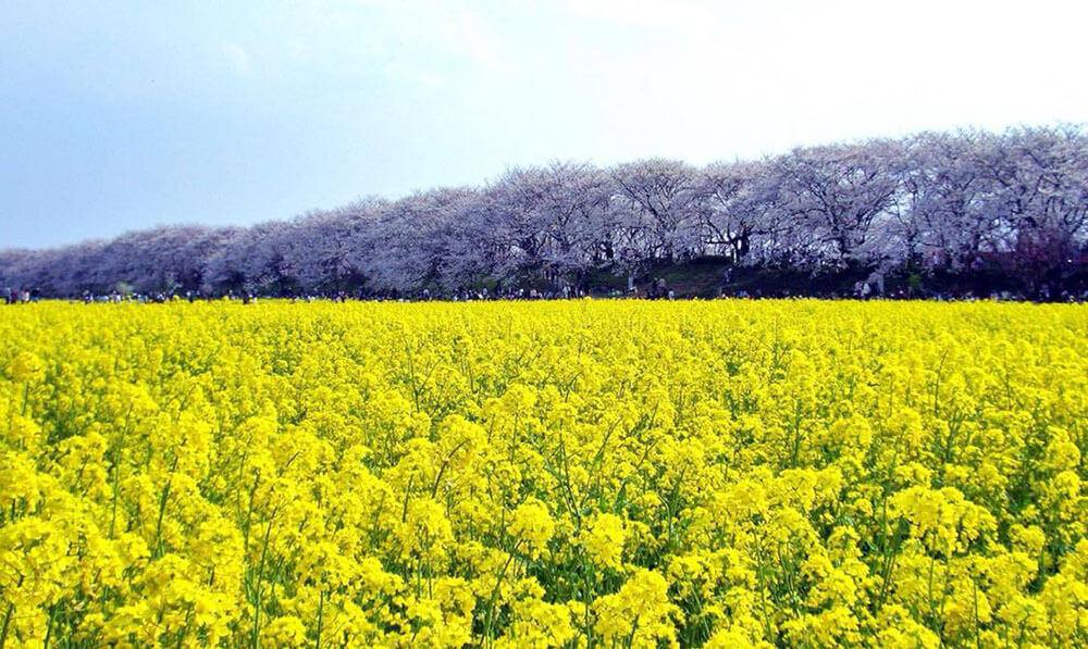 権現堂さくら堤(さくらと菜の花)